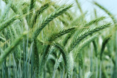 Close up of barley ears in field