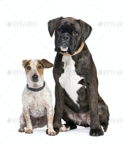 couple of a Boxer and a crossbreed dog