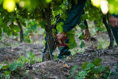 men cutting twigs in the vineyard with a trimmer