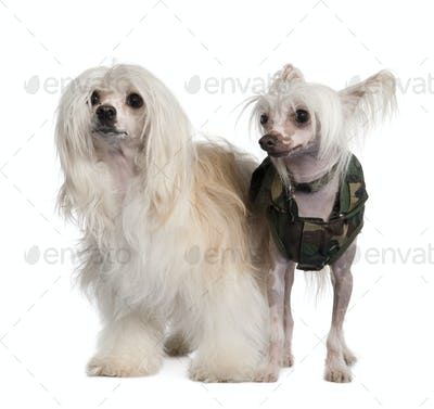 couple of a Chinese Crested Dog  Hairless and powderpuff