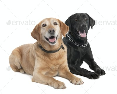 Couple of two Labradors (2 and 7 years old)