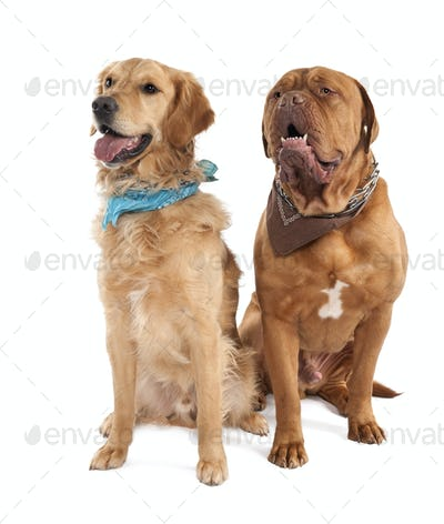 Couple of a Mastiff and a gloden retriever