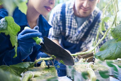Two Workers Planting Vegetables