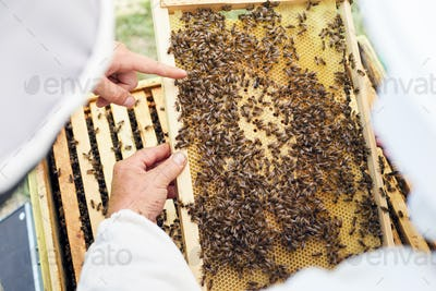 Beekeepers Examining Hive