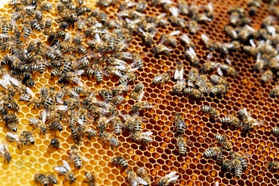 Bees on Golden Honeycomb