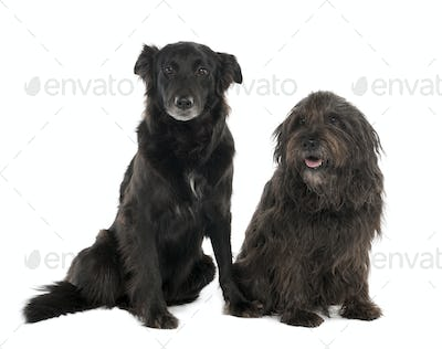 Couple of a Mixed-Breed Dog with a Border Collie and a Gos d'Atura (4 and 10 years old)