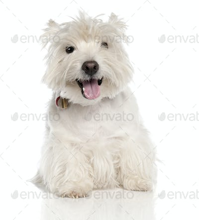 West Highland White Terrier (6 years old)