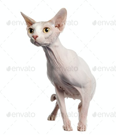 Sphynx (4 years old)