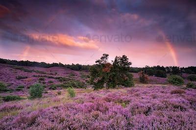 big rainbow over purple heather flower hills at sunset