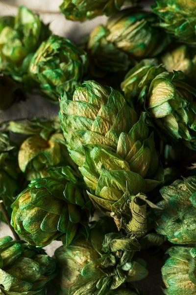 Raw Green Organic Fresh Beer Hops