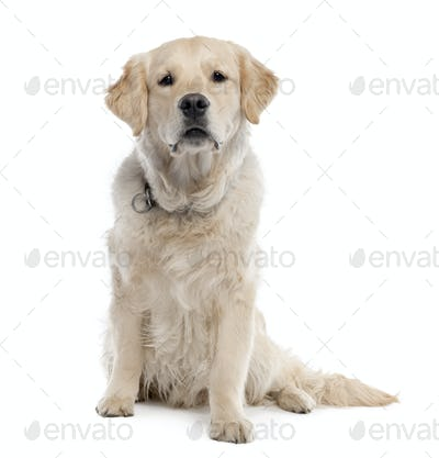 Golden Retriever (11 months old)