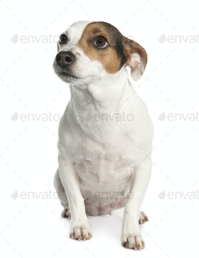 Jack russell (6 years old)