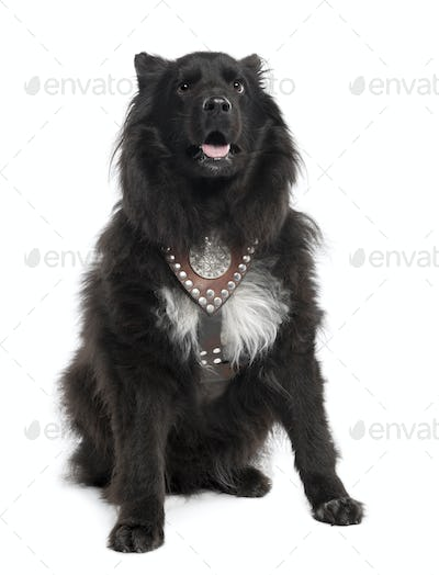 Mixed-Breed Dog between keeshond and a sheltie (6 years old)