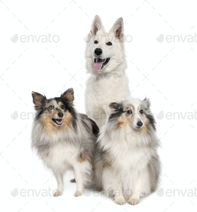 group of a White Shepherd Dog and two shelties