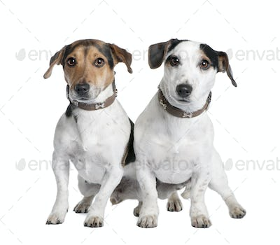 couple of two Jack russells (2 and 3 years old)
