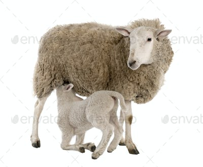 lamb suckling his mother (a ewe)