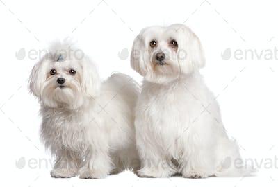 couple of two maltese dog
