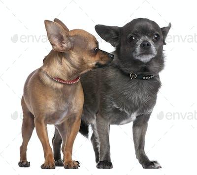 Couple of chihuahua