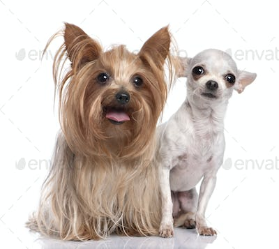 couple of dog : Yorkshire Terrier and chihuahua