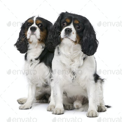 Couple of two Cavalier King Charles Spaniel (4 and 6 years old) sitting