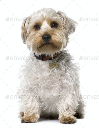 Yorkshire Terrier (1 year old) sitting