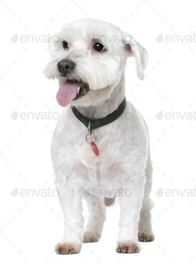 maltese dog (12 years old)