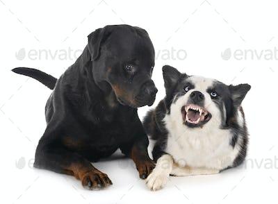 Yakutian Laika and rottweiler