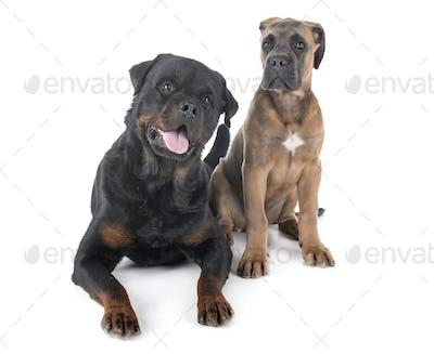 rottweiler and cane corso