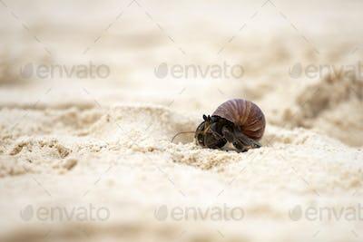 Hermit crab (Pagurus bernhardus) walking with his shell