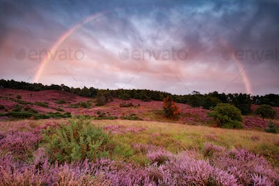 rainbow over blossoming heather hills in summer