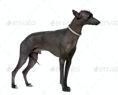 Peruvian Hairless Dog (18 months old)