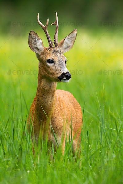 Innocent roe deer buck standing in fresh green grass in summer