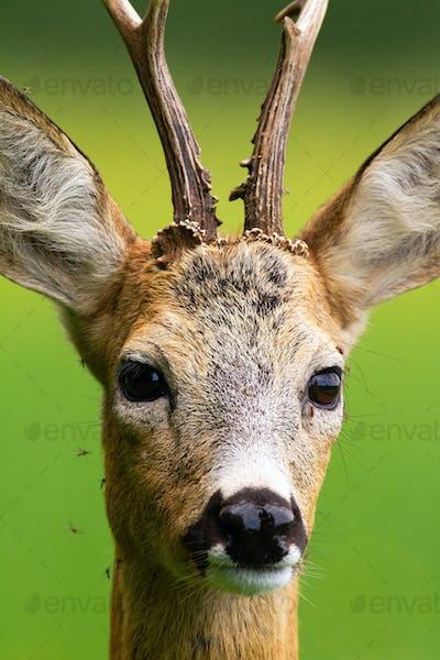 Flock of mosquitoes stinging roe deer buck in nature in summer