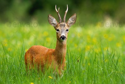 Roe deer buck with antlers facing camera standing in fresh green grass in summer