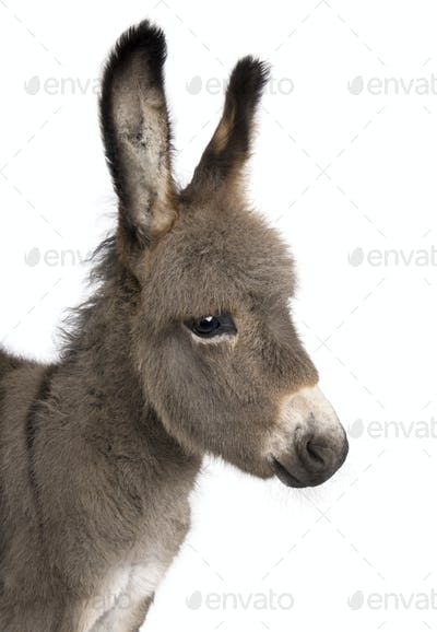 close-up on a donkey foal's head (2 months)