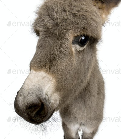 Close-up portrait of donkey foal, 2 months old, against white background, studio shot