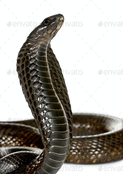 Egyptian cobra (Naja haje)