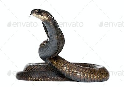 Egyptian cobra - Naja haje