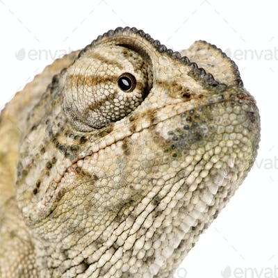 Close-up of Common Chameleon, Chamaeleo chamaeleon, in front of white background