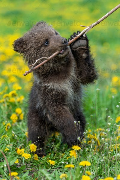Brown bear cub playing on the summer field.