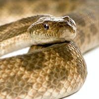 Close-up of rat snake, Malpolon Monspessulanus, studio shot