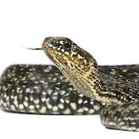 Horseshoe Whip Snake, Hemorrhois hippocrepis, in front of white background