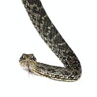 Horseshoe Whip Snake  -  Hemorrhois hippocrepis (coluber)