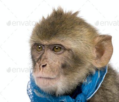 Young Barbary Macaque, Macaca Sylvanus, 1 year old, studio shot