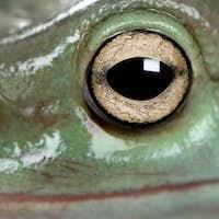 Close-up of Australian Green Tree Frog, Litoria caerulea
