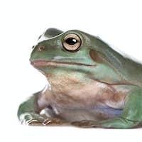 Side view of Australian Green Tree Frog, Litoria caerulea, against white background, studio shot
