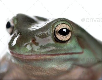 Close-up of Australian Green Tree Frog, Litoria caerulea, studio shot