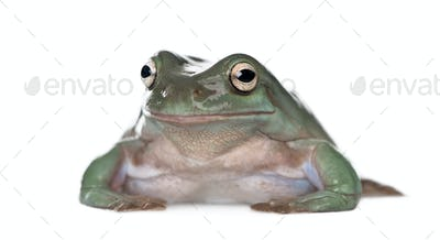 Portrait of Australian Green Tree Frog, Litoria caerulea, against white background, studio shot