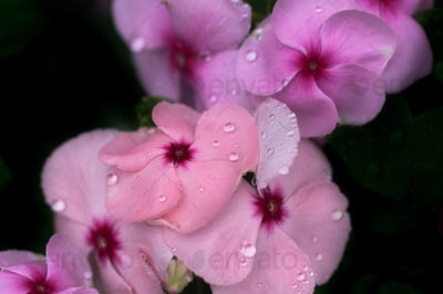 The water drops on the pink flower in the rainy season