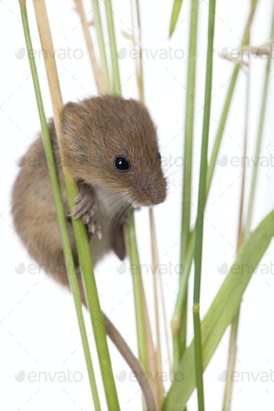 Harvest Mouse, Micromys minutus, climbing on blade of grass, studio shot